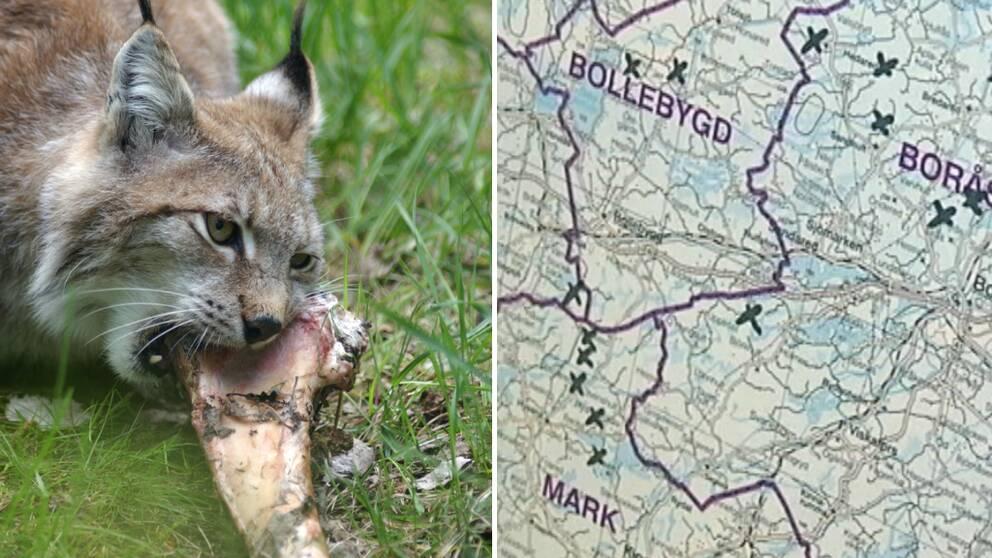 lodjur som gnager på ben samt karta över lodjursangrepp