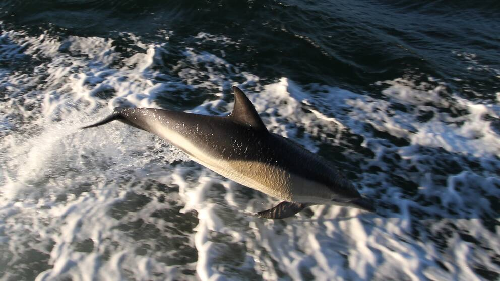 En delfin som hoppar i skummet bredvid färjan.