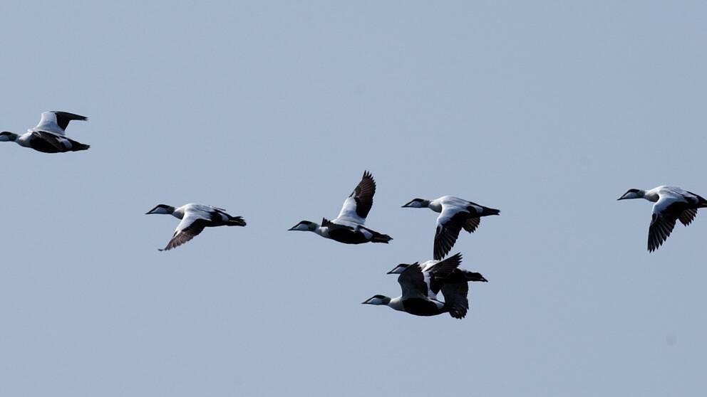 Flygande ejdrar.