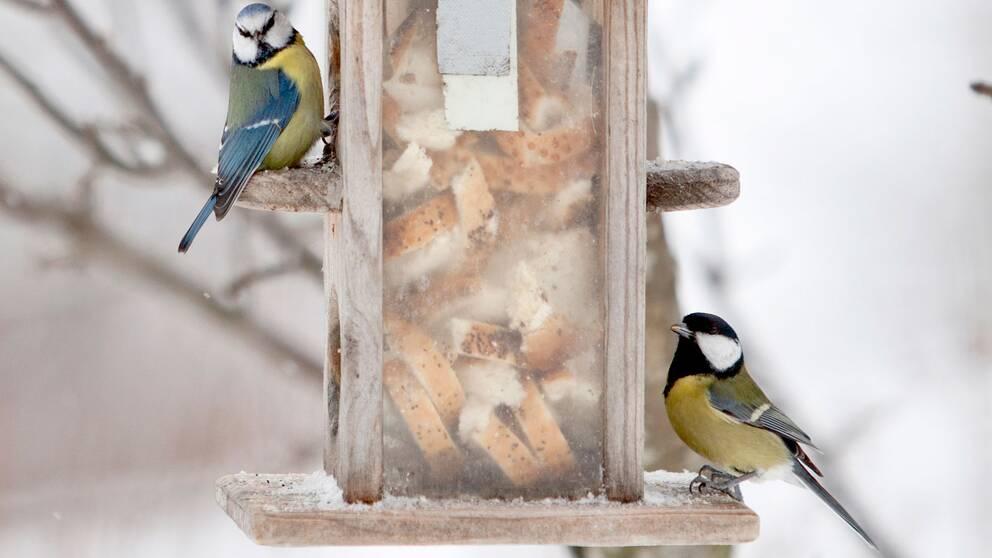blåmes, talgoxe, småfåglar, vinterfåglar