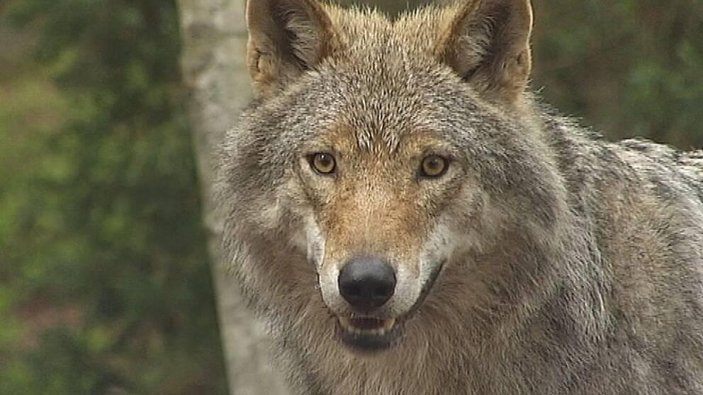 varg på Kolmårdens djurpark