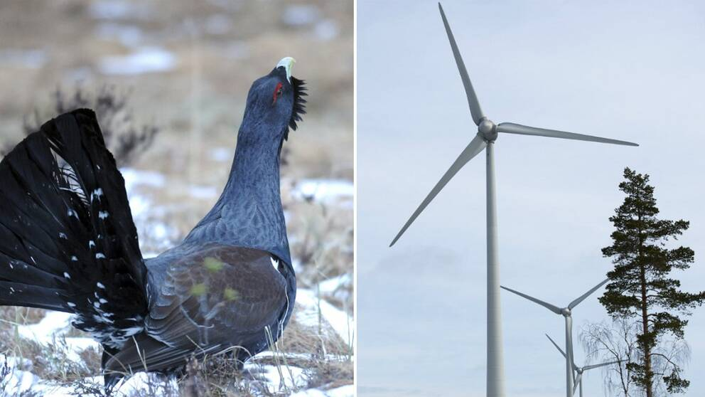 Tjädrar stoppar vindkraftverk