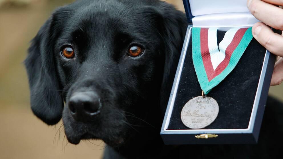 Arkivbild. Brittiska labradoren Treo fick 2010 medalj för sin insats som bombhund i Afghanistan.