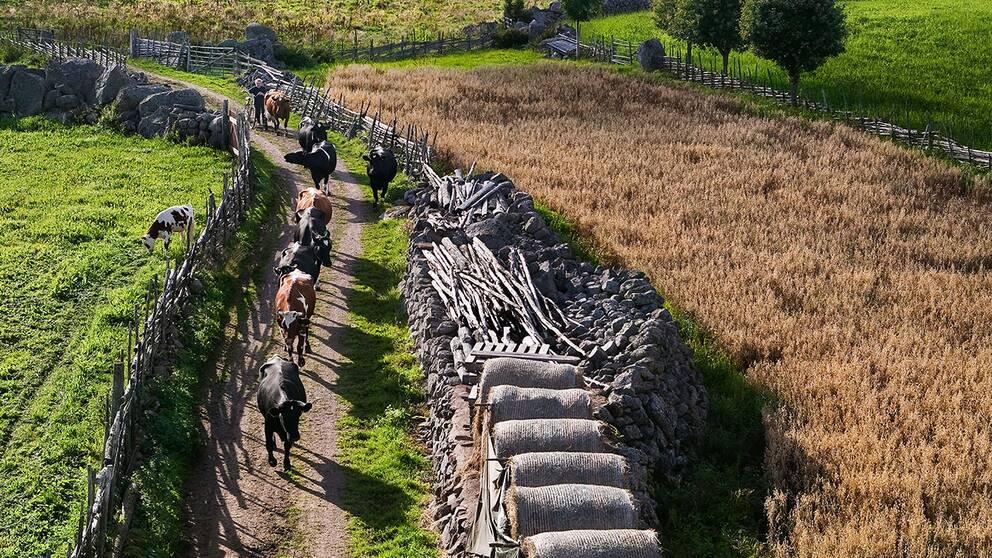 Kor går på led – en av Peter Gerdehags bilder i och runt gården.