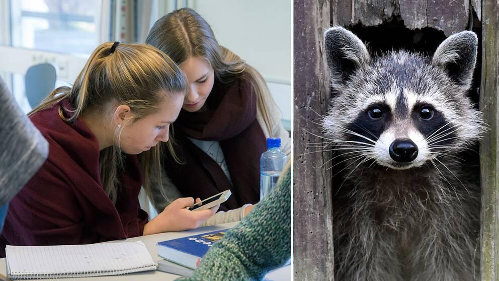 Gymnasieelever tittar i mobiltelefon, samt en tvättbjörn.