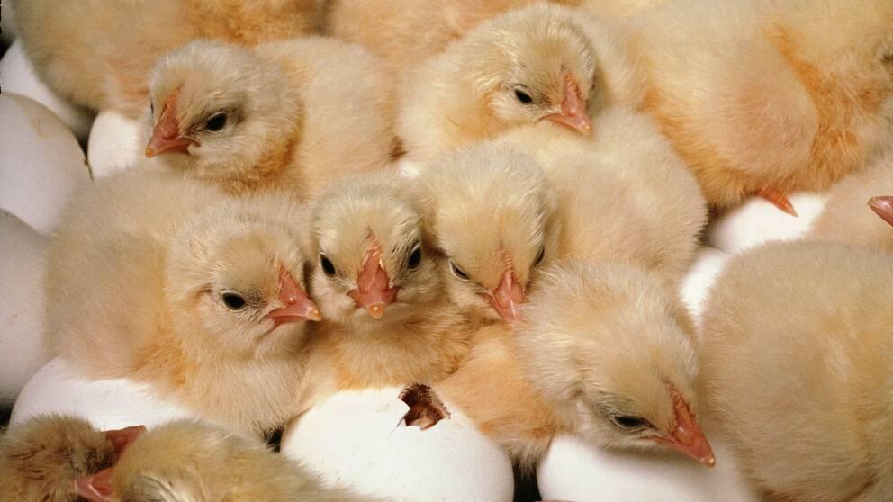 Nykläckta kycklingar.
