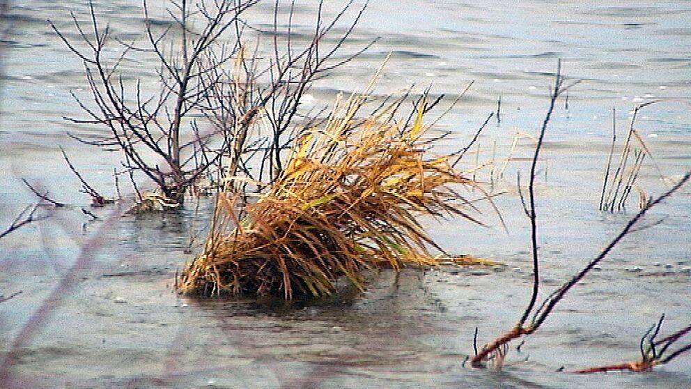 Växtlighet i vatten vid Vänerns strand