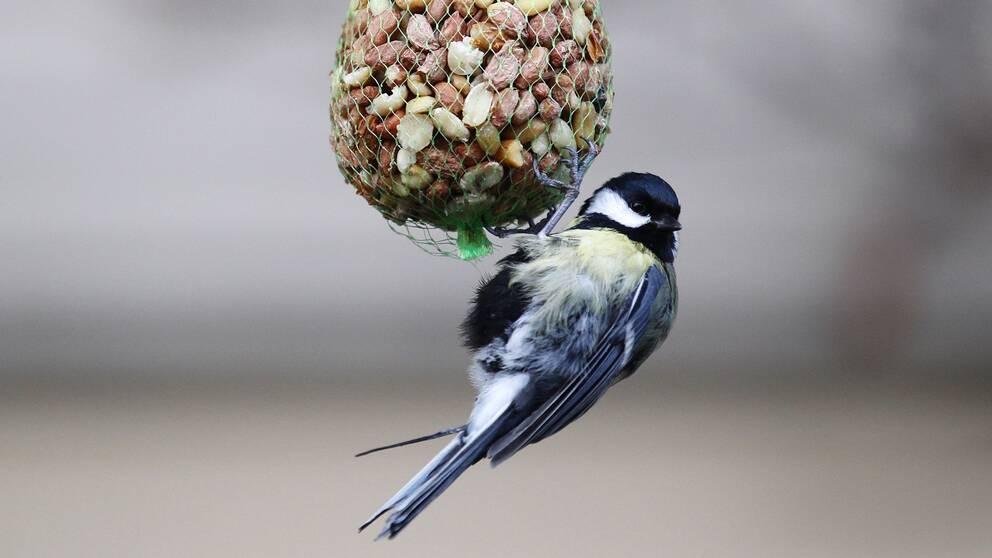 Talgoxe äter mat ur boll