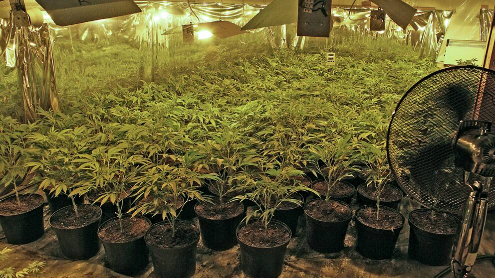 cannabis, cannabisodling, knark.