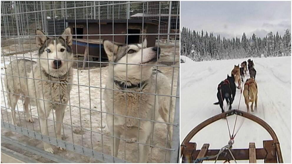 Klimmatturism, siberian huskey, hundspann, hundspannsturism