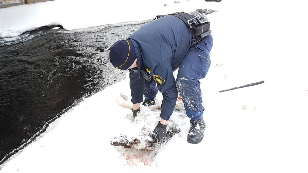 Polis drar loss vargkadaver
