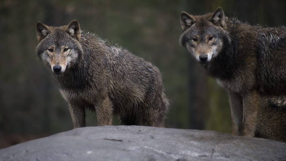 två vargar på klippa