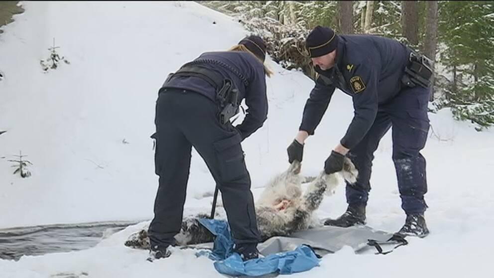 polis bryter loss vargkropp