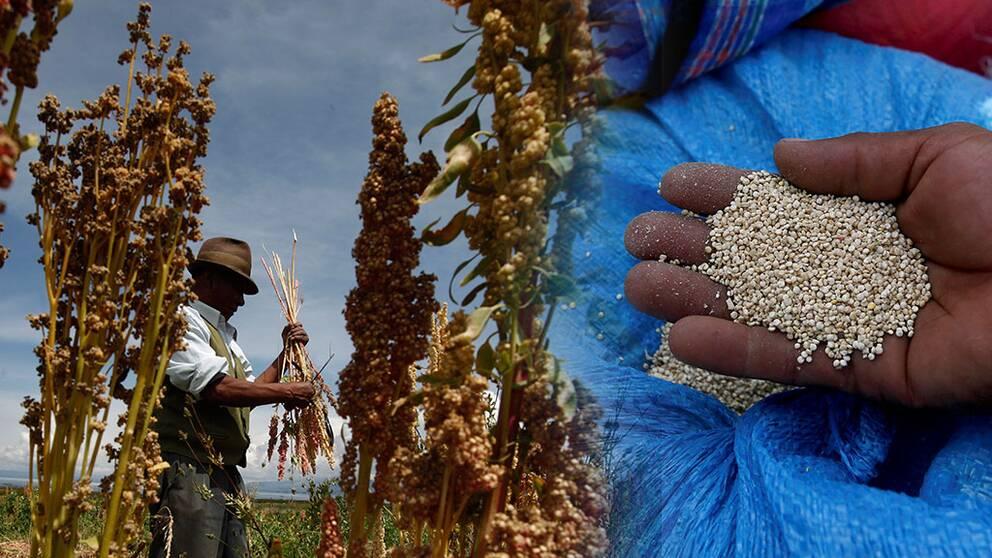 Quinoa kan föda världens hungriga