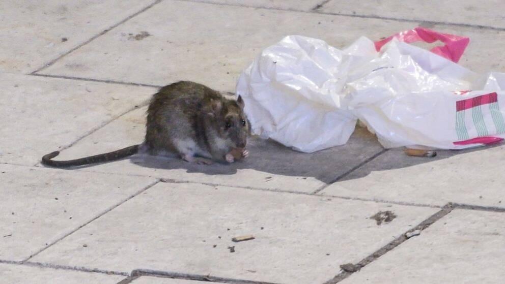 På tre år ökade antalet råttsaneringar i Anticimex regi med 67 procent. Arkivbild.