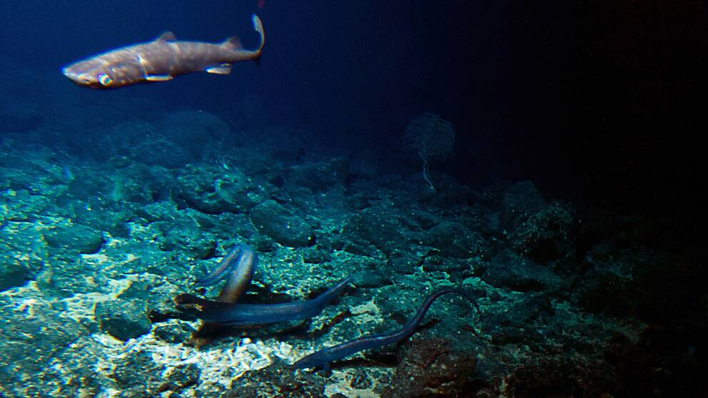 En haj i djuphaven