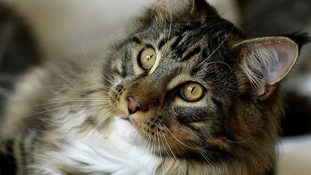 Kvinnan döms mot sitt nekande för att ha haft katter hemma trots sitt djurförbud.