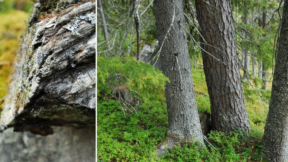 I skogen vid Strandberget finns mer än 10 rödlistade arter och här finns tjäder.