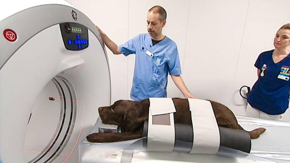 Hunden Memphis provar på Dalarnas först skiktröntgen för djur