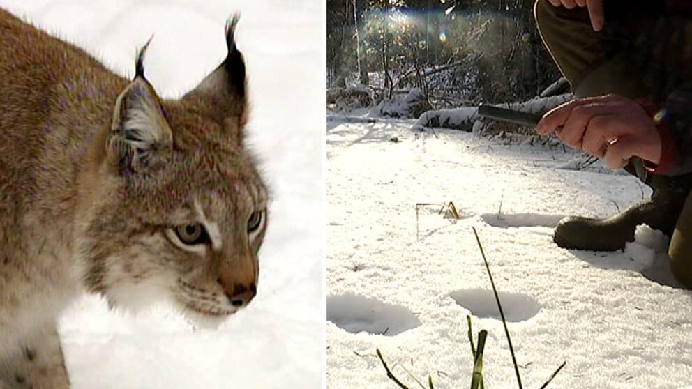 närbild på lodjur, och på person som tittar på spår i snö