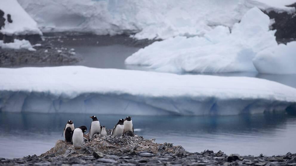 Pingviner i Antarktis.