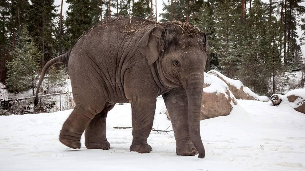 Namsai elefant kalv kolmården