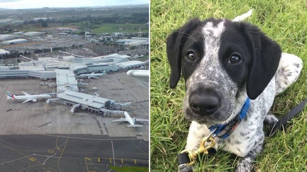 Flygplatsen i Auckland och hunden Grizz.