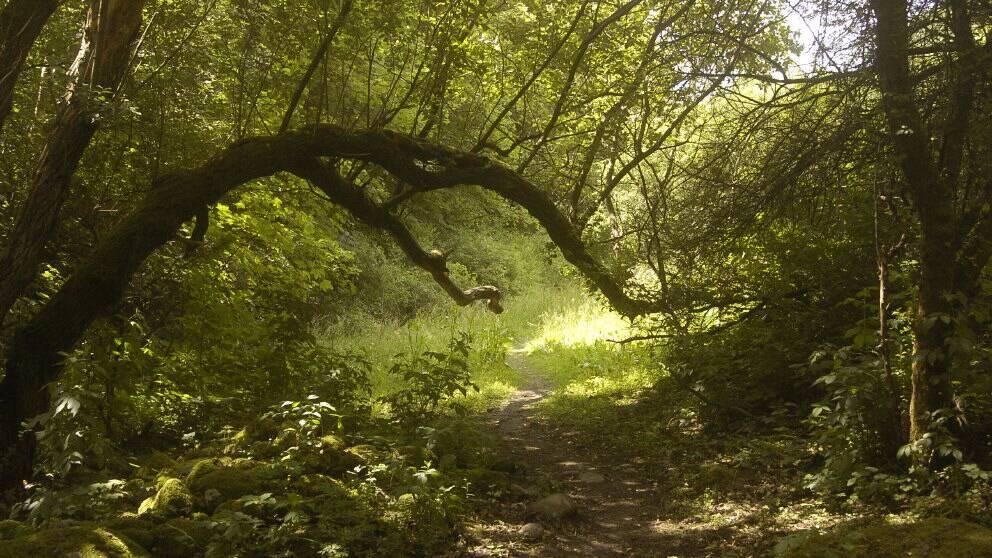 Stig slingrar sig genom grön skog.