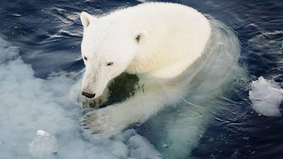 Isbjörn i vatten