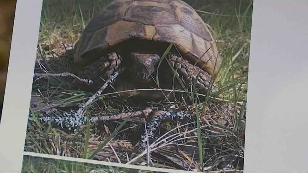 Sköldpaddan Isedor när han hittades i skogen 2015