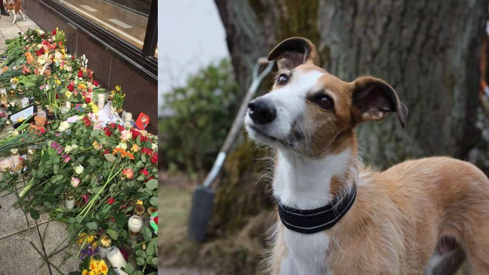 """""""I sitt nya hem fick Iggy allt det vi önskade för honom. En familj som älskade honom, gav honom trygghet, omsorg och kärlek i överflöd"""", skriver Hundar Utan Hem på sin Facebooksida."""