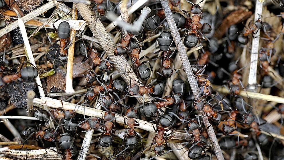 Myror i en myrstack.