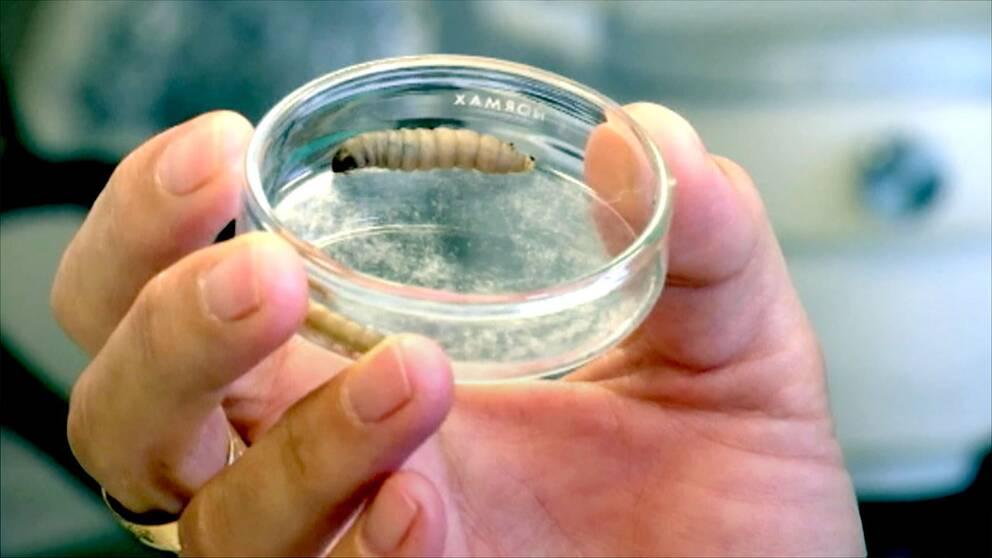 vaxlarv i provburk på laboratorie