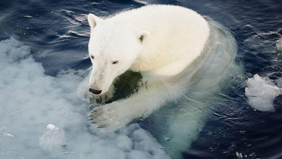 Isbjörnarna är de stora förlorarna när isarna smälter.