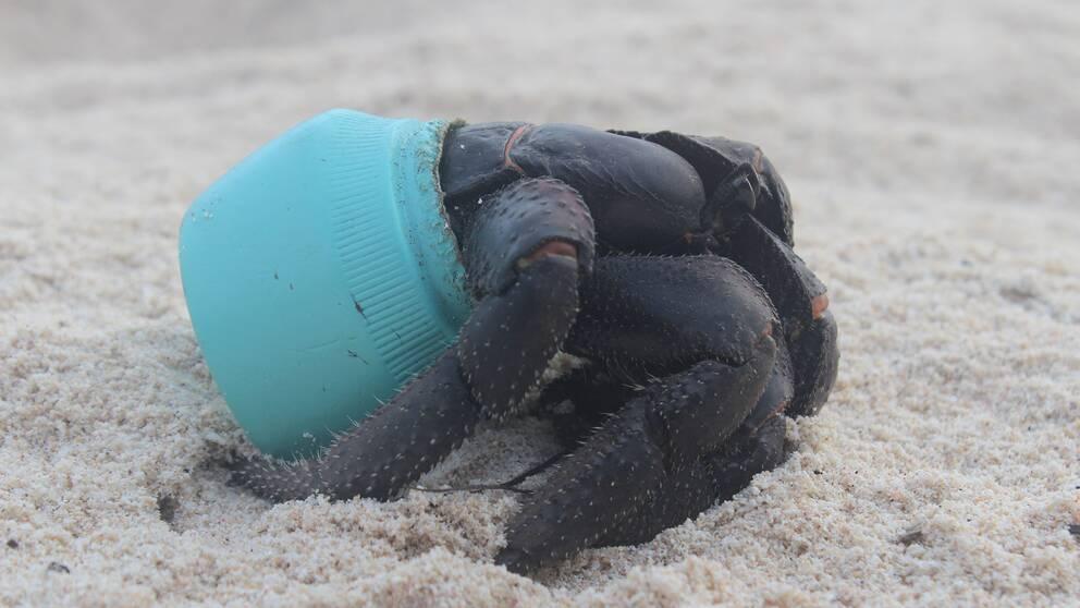 Krabbor som flyttat in i plastburkar hittades på Henderson Island.