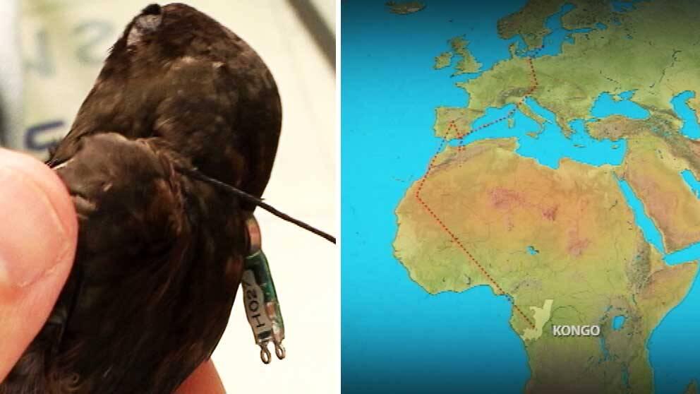 En tornseglare som fångades på Öland flyttade västerut över Spanien ner till centralafrika.