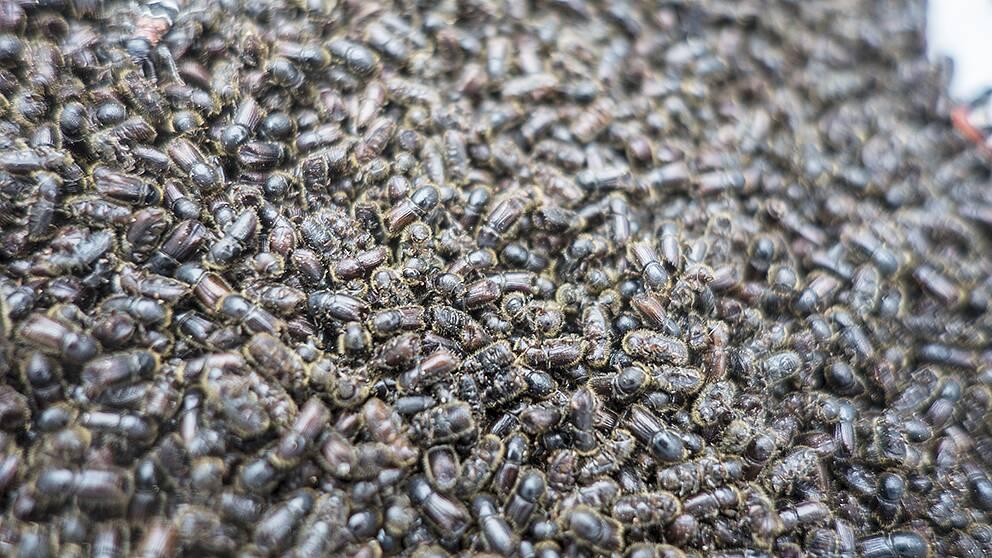 närbild på en stor mängd insekter