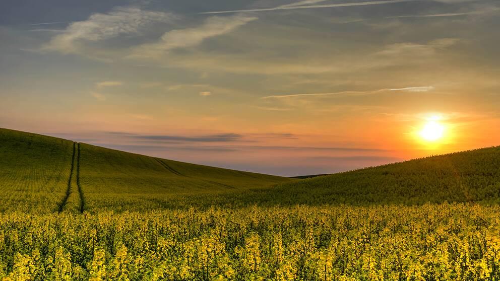 Klassigt försommarmotiv på blommande rapsfält, denna gång kryddad med en vacker solnedgång i skånska Lund den 18 maj.