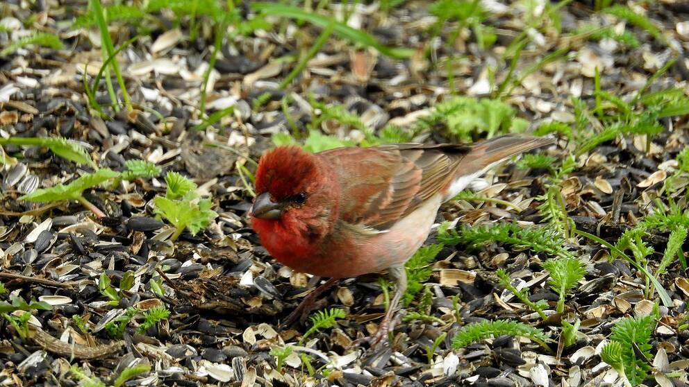 En rosenfink