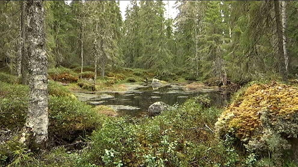 Av Värmlands 1,3 miljoner hektar produktiv skogsmark är det bara 1,1 procent som har ett formellt skydd.