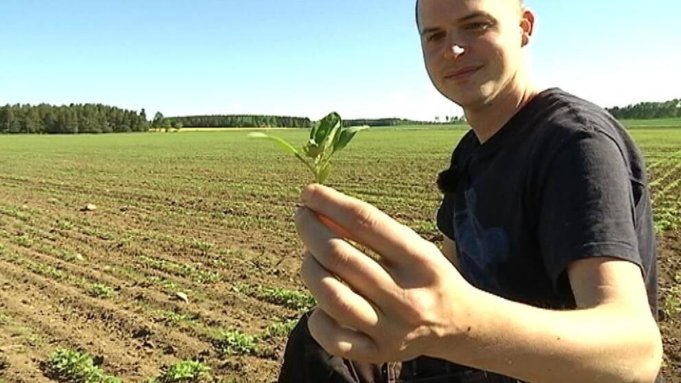 Lantbrukaren David Appelgren visar upp en quinoaplanta