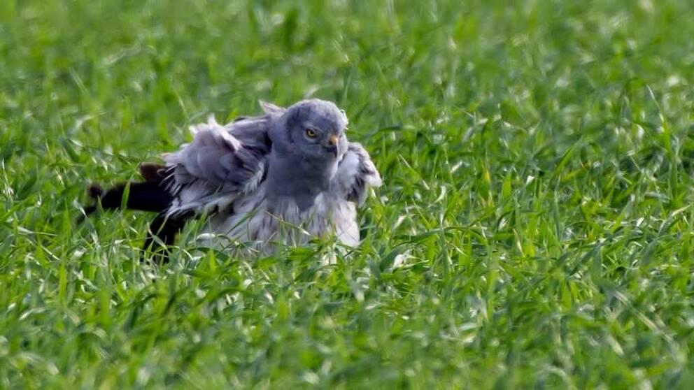Ängshök, hane på gräsvall