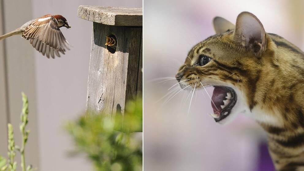 Småfågel och katt.