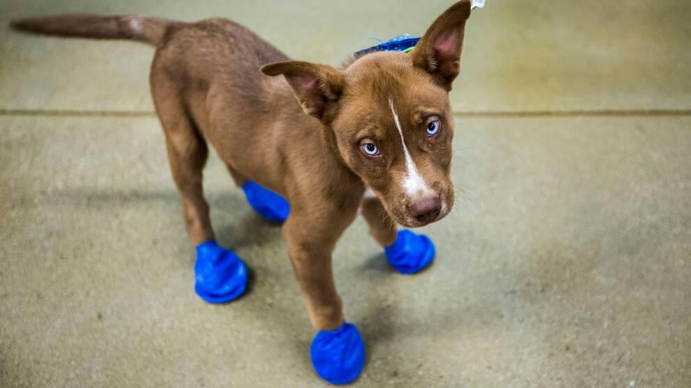 En djuraffär i en Phoenixförort delade i veckanut gratis stövlar till husdjur för att de inte skabränna sina tassar.