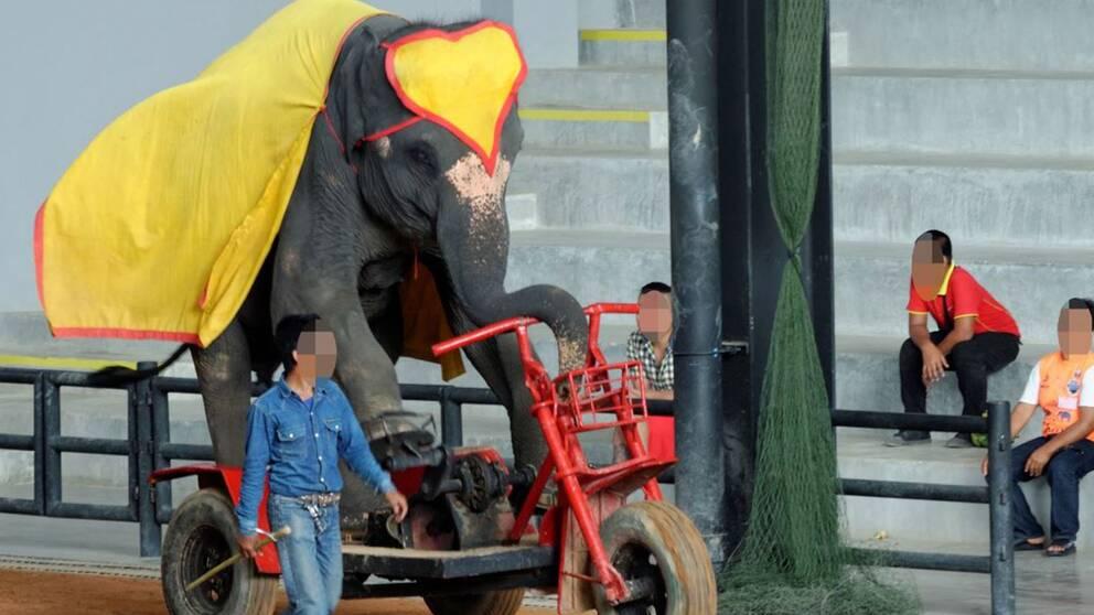 Elefant som tvingas uppträda på cykel