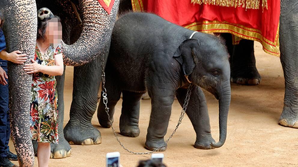 En ung elefant fastspänd med kedja.