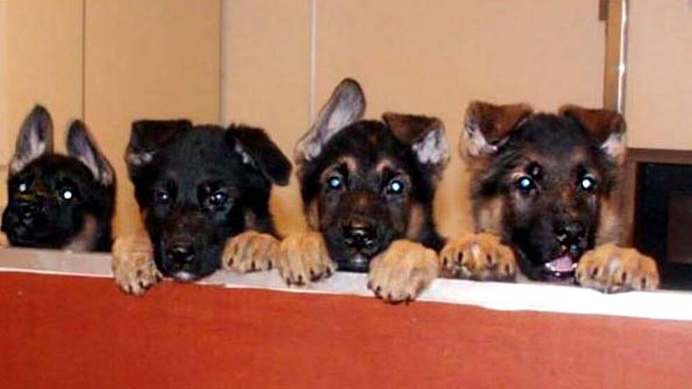 Försvarsmaktens hundavelsstation i Sollefteå söker fodervärdar åt hundvalpar.