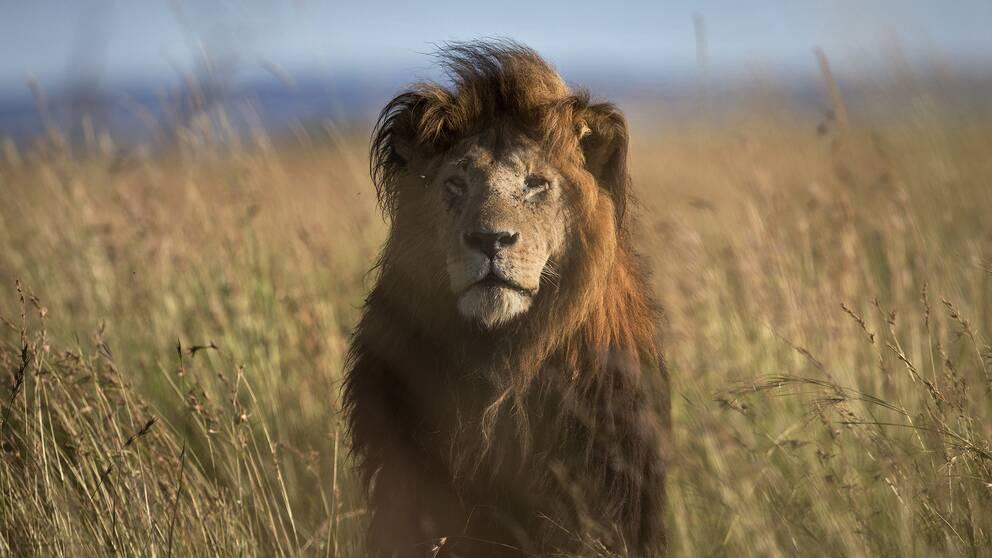 Lejon är ett av de djur vars utbredning minskat kraftigast.