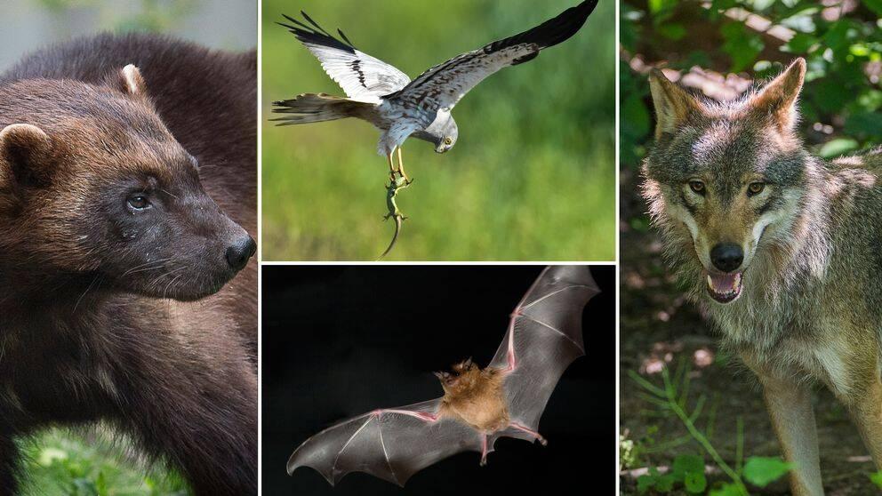 Bildmontage av djuren järv, ängshök, fladdermus och varg.