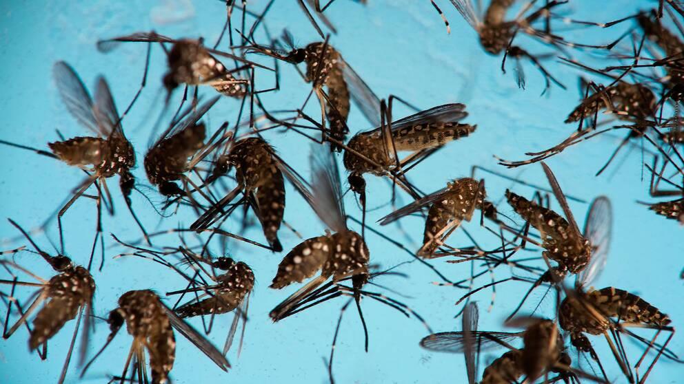 Myggor som sprider zika-viruset.